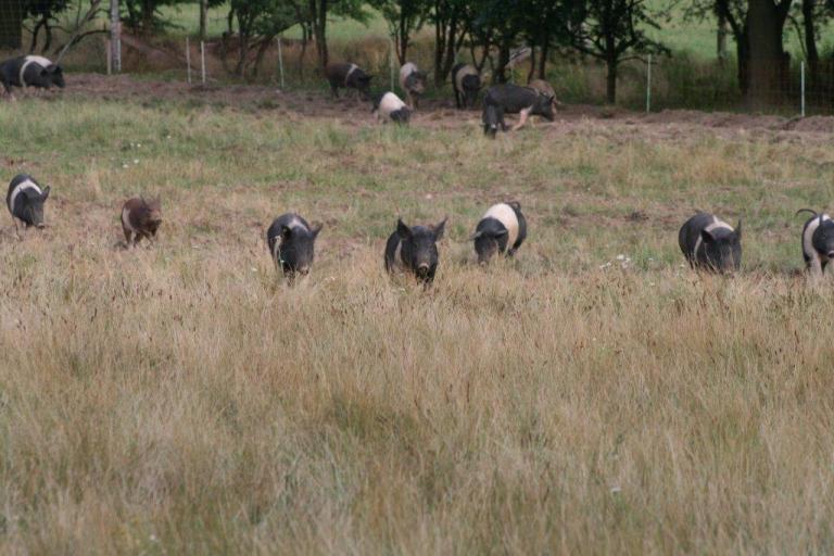 Gut-Hirschaue Berlin Schweine-in-der-Reihe-auf-der-Weide
